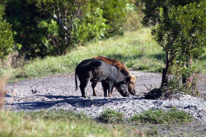 Wild-Boar-Florida