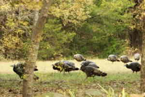 Spring Turkey Hunting Tips For Beginners and Experts!